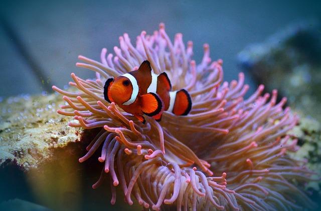 anemone-fish